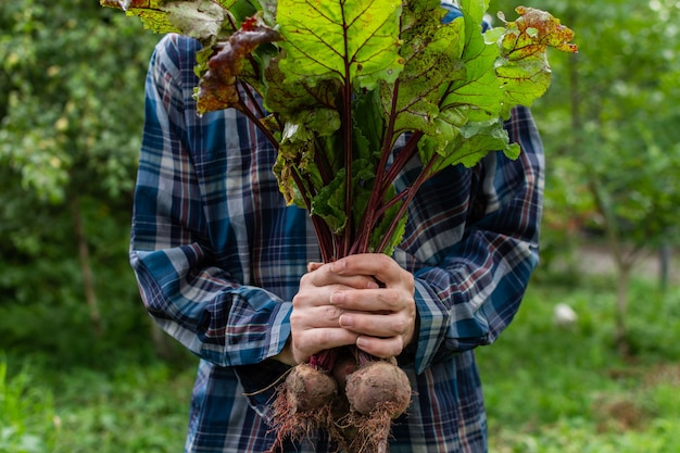 신선한 유기농 사탕무 무리, 정원 침대에서 젊은 생 야채와 농부의 손