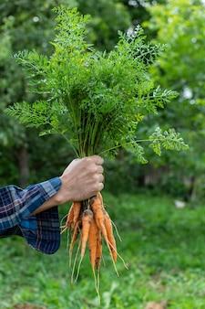 Фермер руки со свежим органическим пучком моркови, молодыми сырыми овощами с грядки