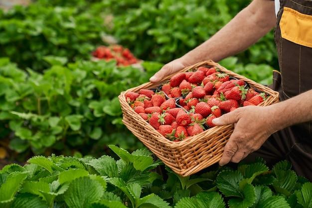 온실에서 즙이 많은 붉은 익은 딸기를 수확하는 농부