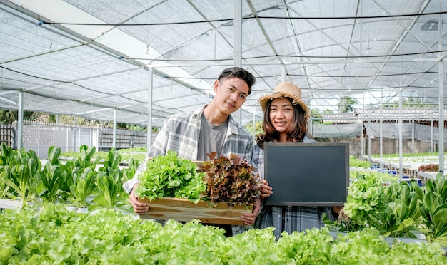 Farmer harvesting lettuce from hydroponic farm for customers.