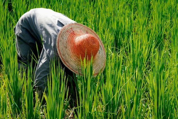農家が米を収穫する
