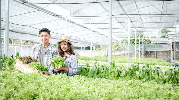 Farmer harvesting vegetable organic salad, lettuce from hydroponic farm for customers.