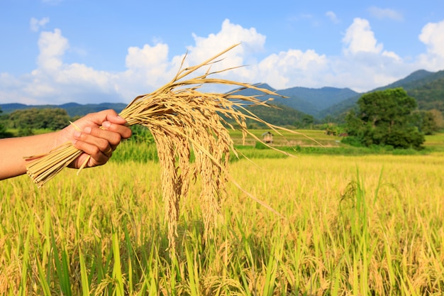 Farmer harvests rice in field