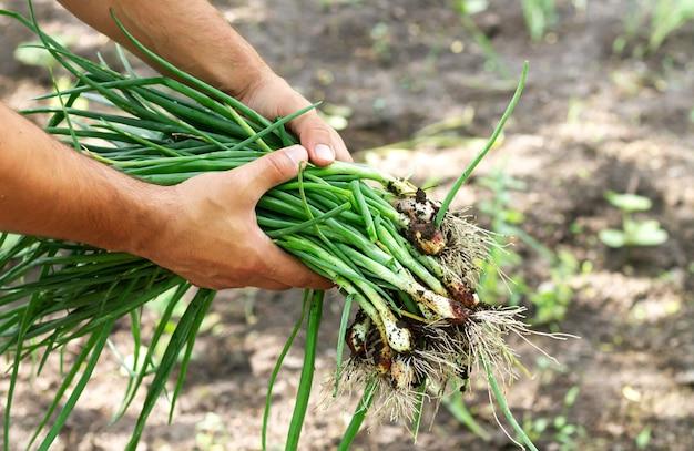 농부는 흙과 함께 신선한 유기농 파를 들고 있습니다. 지역 생태 농업 개념