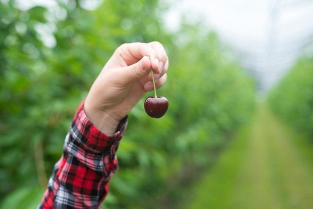 Фермер держит плоды вишни в зеленом саду