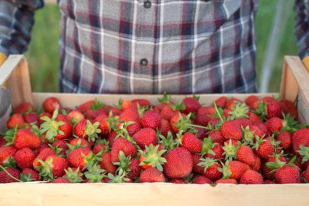 新鮮な有機イチゴでいっぱいの木枠を持っている農夫
