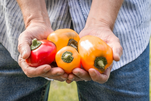 Farmer holding fresh peppers. food, vegetables, agriculture
