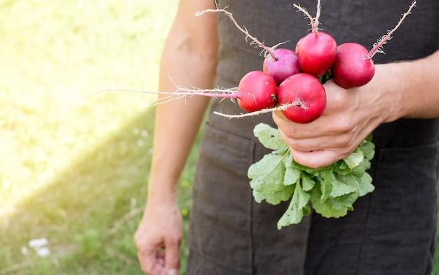 農場で新鮮な大根を手に持っている農夫。新鮮な束の収穫を保持している男性の手。健康的な有機食品、野菜、農業、クローズアップ