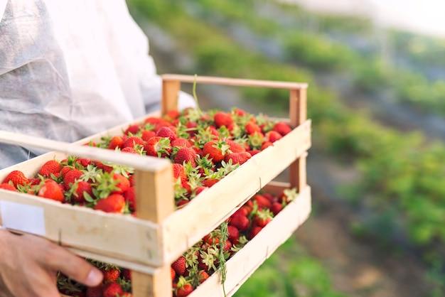 いちご畑で収穫したての完熟いちごを持っている農家