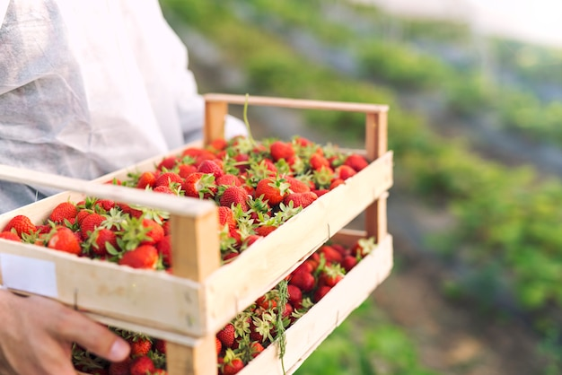Farmer holding freshly harvested ripe strawberries in strawberry farm field