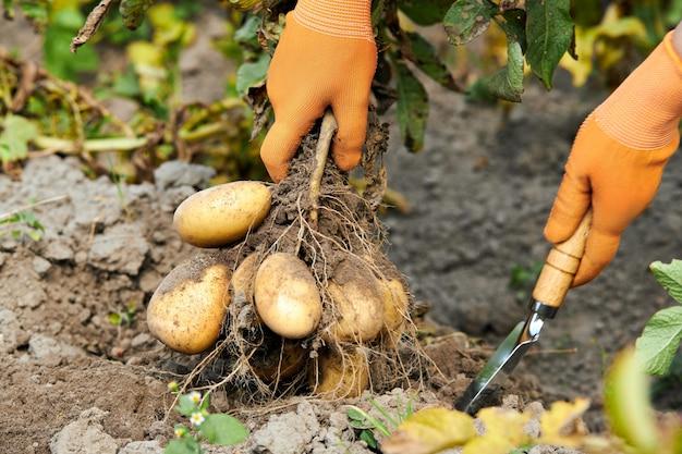Фермер держит органический картофель