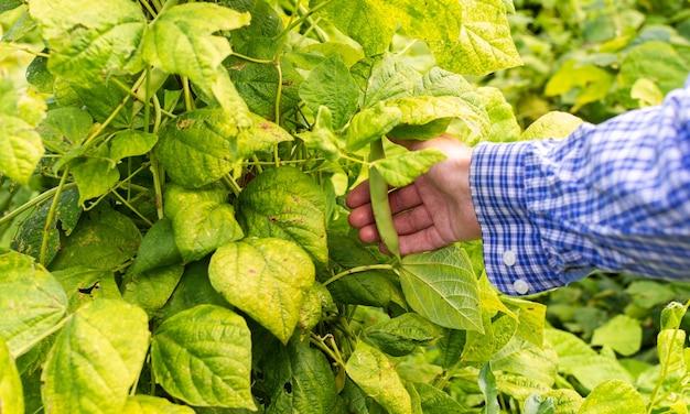 어린 콩 꼬투리를 들고 있는 농부, 정원에서 가져온 신선한 녹색 유기농 어린 채소