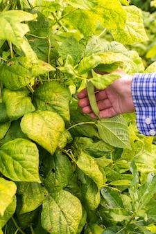 어린 콩 꼬투리를 들고 있는 농부