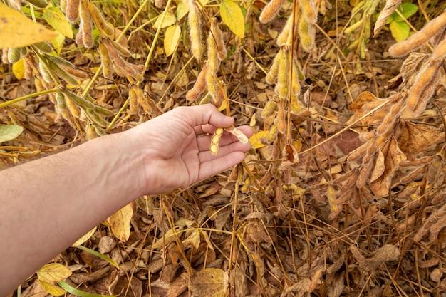 畑で生の乾燥大豆を手に持っている農家。