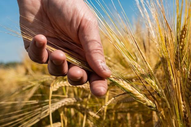 農家は彼の手で大麦粒を保持しています。