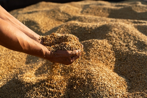 Фермер держит в руках зерно ячменя