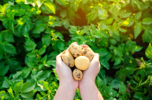 Фермер держит свежесобранный картофель в поле сбор урожая