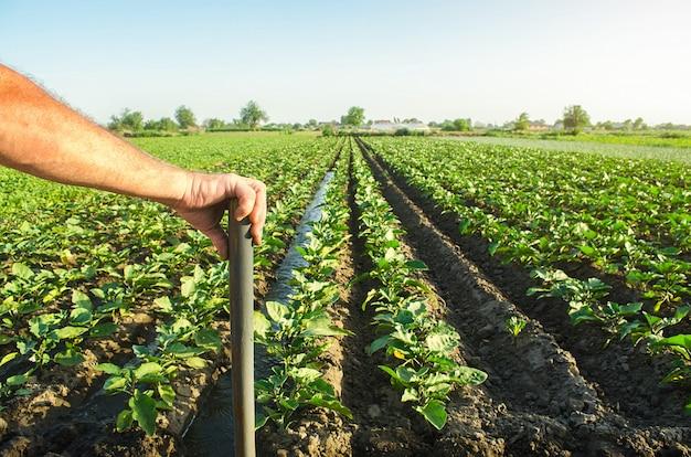 Farmer holds his hand on a shovel over eggplant plantation field
