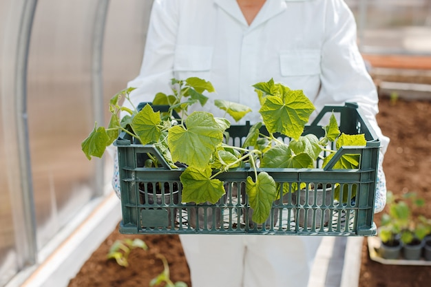 The farmer holds in his hands a box with young seedlings of cucumbers