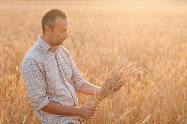 農夫は日没で穀物畑に小麦の穂の束を保持します