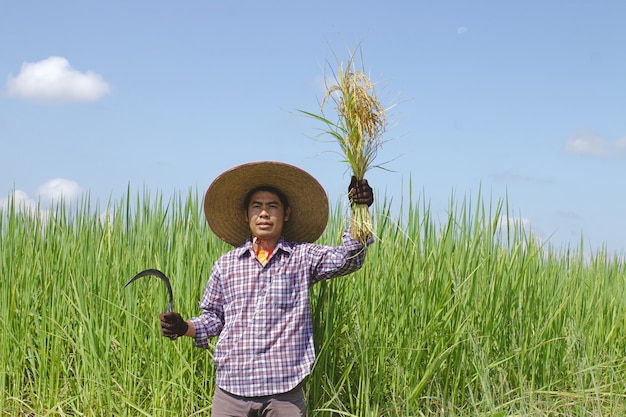 A farmer holds a sickle harvesting rice fields on a sunny day.