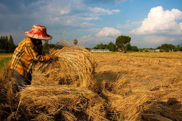 농부, 들판, 수확 시간