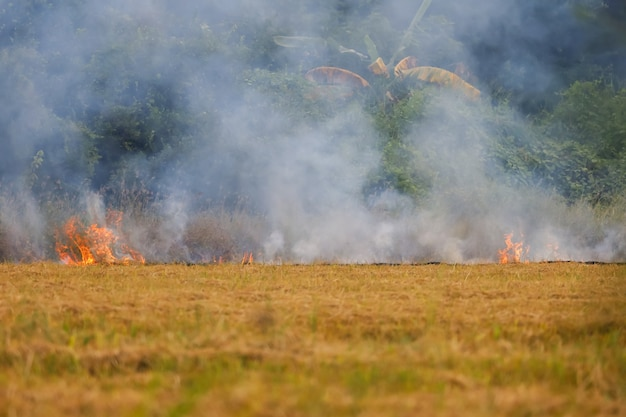 The farmer is burned the per cobs dry in the rice field .causing smoke and the greenhouse effect in the world (focus fire)