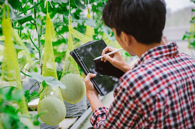 The farmer is checking the quality of the melon at the melon farm in a plastic house