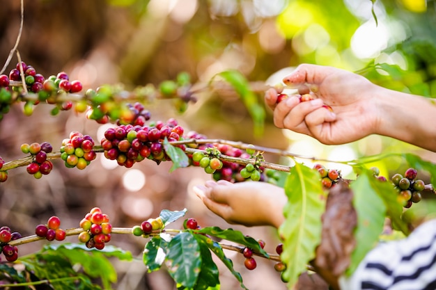 Farmer is collecting raw coffee beans in agricultural farmland