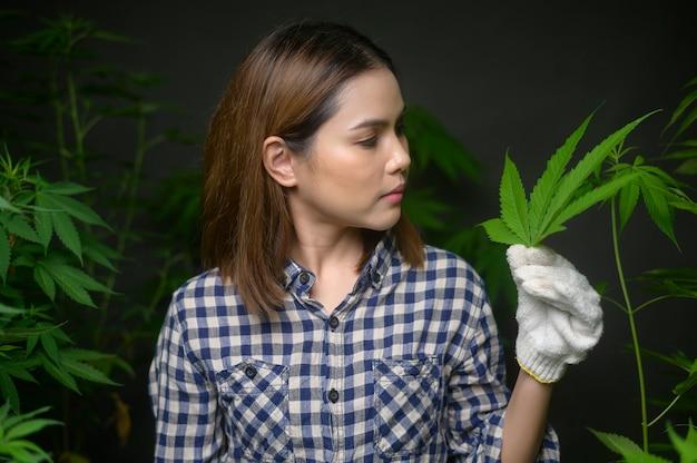 農民は大麻の葉を持って、合法化された農場でチェックして見せています。