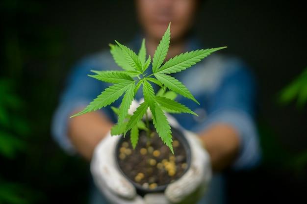農民は合法化された農場で大麻の苗木を保持しています。