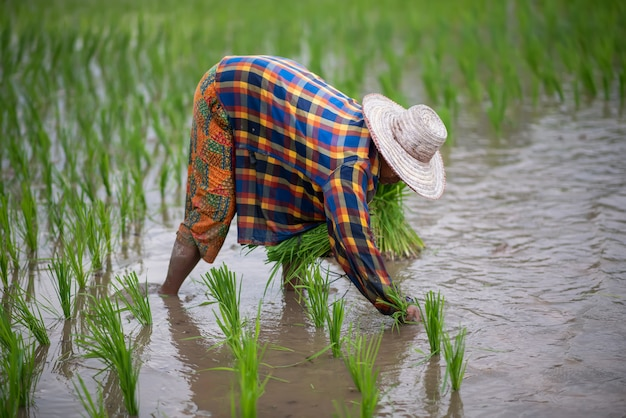 The farmer is planting rice at a rice field in thailand