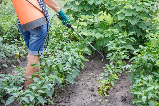 농부는 압력 분무기로 곰팡이 질병이나 해충으로부터 피망 식물을 보호하고 있습니다.
