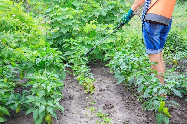 농부는 정원에 있는 압력 분무기로 피망 식물을 곰팡이 질병으로부터 보호하고 있습니다.