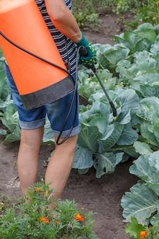 농부는 압력 분무기로 곰팡이 질병이나 해충으로부터 양배추 식물을 보호하고 있습니다.