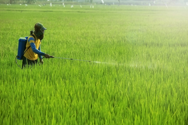 A farmer is spraying his rice crop with a liquid pesticide to repel pests