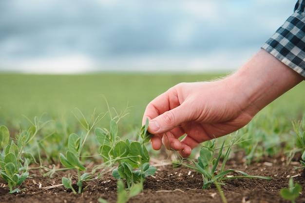 農夫は野菜エンドウの開発を研究しています。農夫はフィールドでグリーンピースの世話をしています。農業のコンセプト