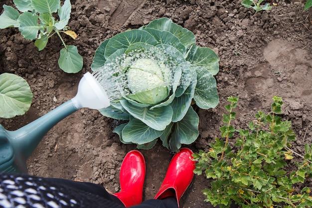 Фермер поливает кочан зеленой капусты на грядке, используя пластиковую лейку.