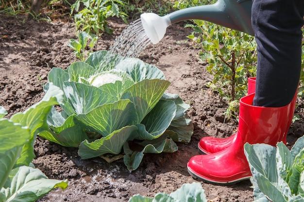 Фермер поливает кочан зеленой капусты на грядке, используя пластиковую лейку. выращивание овощей