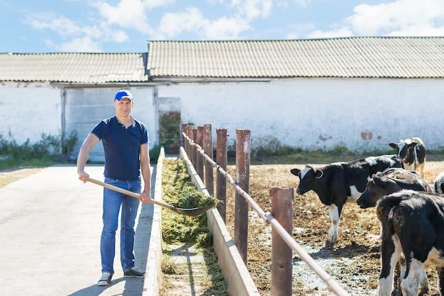 농부는 젖소와 함께 농장에서 일하고 있습니다.