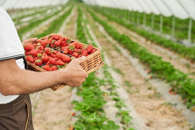 농부는 온실에서 즙이 많은 완전히 자란 딸기를 유지합니다.