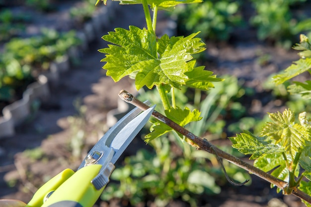 Farmer look after the garden. man with pruner shears the vine