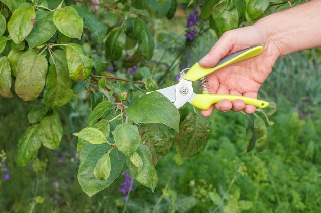 Farmer looks after the garden. planned pruning of fruit tree. man with pruner shears the tips of apple tree