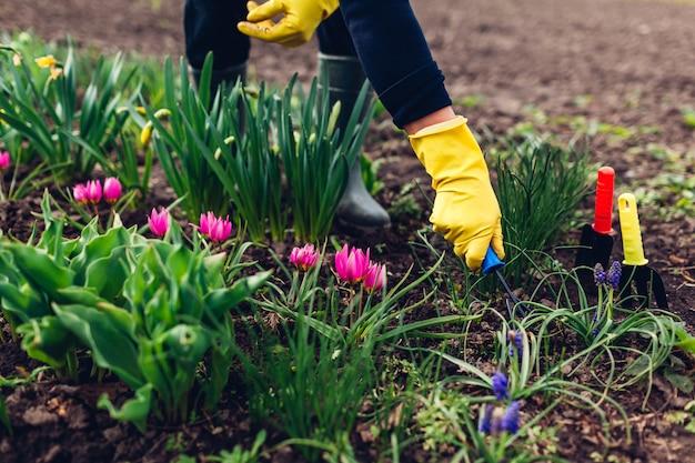 Farmer loosening soil with hand fork among spring flowers in garden