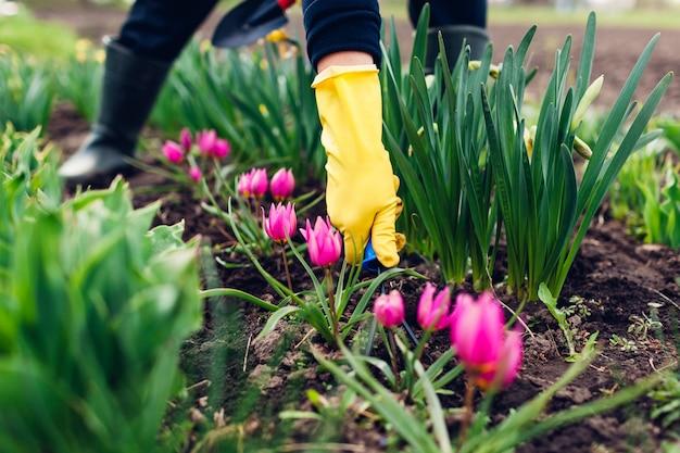 Farmer loosening soil with hand fork among spring tulips flowers in garden