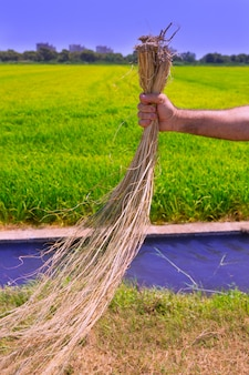 Farmer man holding dried weed cleaning rice fields