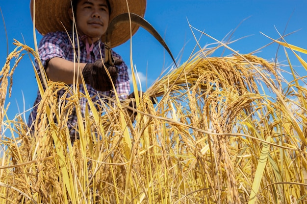 태국의 농부는 푸른 하늘이있는 들판에서 수확을하고있었습니다.