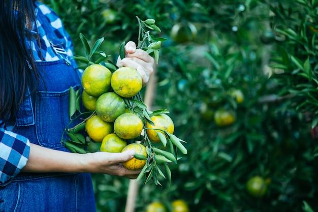 Farmer orange lady, the gardeners are collecting orange, orange garden.
