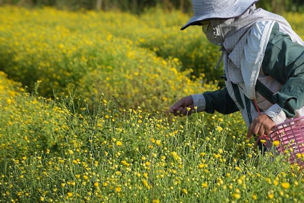 농부는 태국 치앙마이의 농지에서 노란 꽃 국화를 선택합니다.