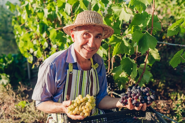 Farmer picking crop of grapes on ecological farm